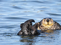 Southern sea otter or California sea otter Enhydra lutris nereis, adult, male, grooming, Monterey Bay National Marine Sanctuary, Monterey, California, USA, Pacific Ocean