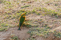 africa, Zambia, South Luangwa National Park, Little bee-eater, Merops pusillus
