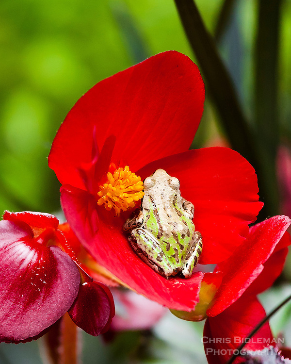 Pacific Tree Frog sitting in the flower of a begonia surrounded by black mondo grass