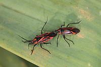 Wanze, Weichwanze, Horistus infuscatus, Miris infuscatus, auf Affodill, Asphodelus, Weichwanzen, Miridae, Kroatien, Croatia