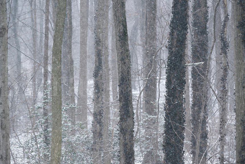 Snow falls in a winter forest, New Jersey, USA
