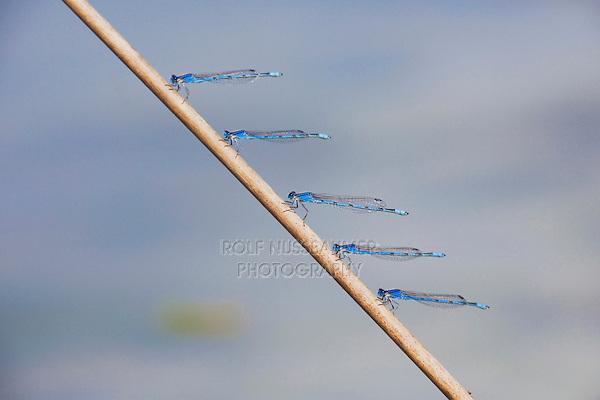 Familiar Bluet (Enallagma civile), males perched, Sinton, Corpus Christi, Coastal Bend, Texas, USA