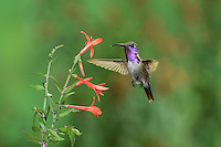 Lucifer Hummingbird (Calothorax lucifer), male feeding on flower, Christmas Mountains, Big Bend, Chihuahuan Desert, West Texas, USA