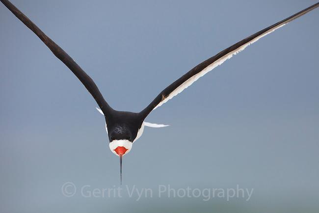 Adult Black Skimmer (Rynchops niger ) in flight. Gulf Islands National Seashore, Florida. June.