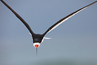 Adult Black Skimmer (Rynchops niger ) in flight. Gulf Islands National Seashore, Florida. June.