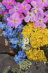 Siberian phlox, Arctic forget-me-nots and yellow lichen thrive on the hills above the Kongakut River.