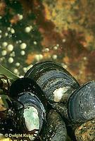 1Y24-005z  Mussel - blue mussel - Mytilus edulis