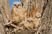 Young Great Horned Owlets (Bubo virginianus) keep watch from the crotch of a tree.  Oregon, spring.