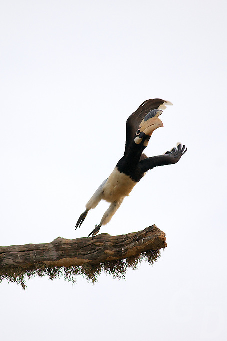 A Pied Hornbill (Anthracoceros coronatus) taken flight from a tree, Yala National Park, Sri Lanka,