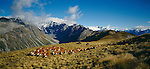 Horsemen with dogs moving cattle on Birchwood Station in the  Otago Region of New Zealand.
