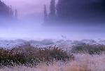 Roosevelt elk, Redwood National Park, California