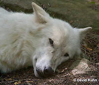 0823-1017  Gray Wolf (Grey Wolf) with White Colored Coat, Canis lupus  © David Kuhn/Dwight Kuhn Photography