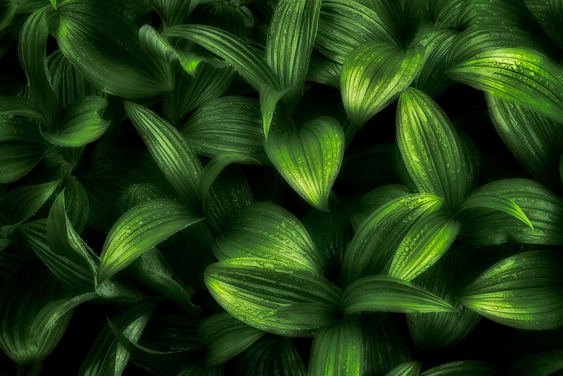 Close up of Green False Hellebore. Mt. Rainier National Park, WA