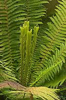 Europäischer Straußenfarn, Straußfarn, Trichterfarn, Matteuccia struthiopteris, ostrich fern, shuttlecock fern