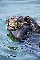 Southern Sea Otter (Enhydra lutris nereis) grooming.  Central California Coast.