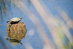 Columbia Ranch, Brazoria County, Damon, Texas; a Red Eared Slider (Trachemys scripta elegans) turtle basking in the sun on a tree stump in the slough
