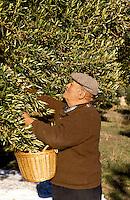 France. Provence.  Elderly man picking olives for oil production.