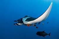 Giant Manta ray, manta birostris and clarion angelfish, Holacanthus clarionensis, at cleanning stacion in San Benedicto Island Revillagigedo archipelago, Pacific ocean, Mexico