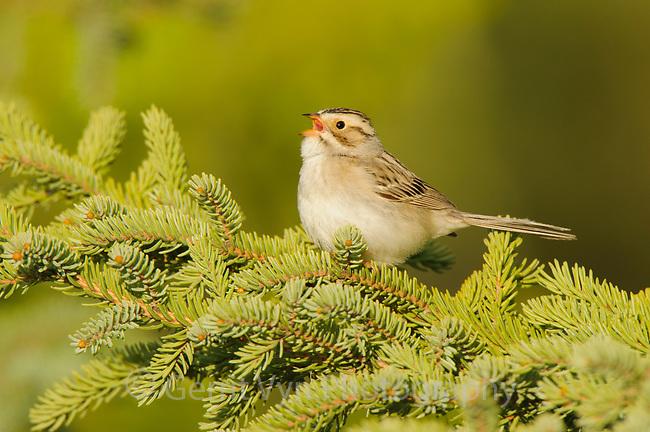 Adult Clay-colored Sparrow (Spizella pallida) singing. Alberta, Canada. May.