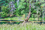 Beaver pond near the Hoh River, Olympic Mountains. Olympic National Park.  Olympic Penninsula, Washington.  Outdoor Adventure.