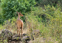 Female Cape Bushbuck, Tragelaphus sylvaticus, in Lake Manyara National Park, Tanzania