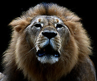 CALI - COLOMBIA - 27 - 09 – 2017: Leon Africano (Panthera Leo), especie de felino en el Zoologico de Cali, en el Departamento del Valle del Cauca.  / African Lion (Panthera Leo), a feline species at the Cali Zoo, in the Department of Valle del Cauca. / Photo: VizzorImage / Luis Ramirez / Staff.