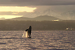 Orca whale breaching off Seattle, Puget Sound, Bainbridge Island, Olympic Mountains in the distance, Washington State, Pacific Northwest, USA,.