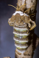 Kleines Nachtpfauenauge, Entwicklung, Falter entwickelt sich nach Schlupf aus der Puppe, Saturnia pavonia, Eudia pavonia, Pavonia pavonia, Small Emperor Moth,  Le Petit paon de nuit, Saturniidae