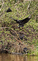 Black vultures gather around the carcass of a spectacled caiman.