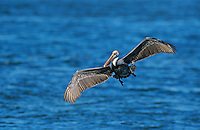 Brown Pelican, Pelecanus occidentalis,adult in flight, Port Aransas, Texas, USA, December 2003