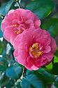 Camellia japonica 'Gloire de Nantes', late February.