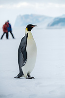 Snow Hill Island, Antarctica. Adult Emperor penguin on ice self with ecotourist observing.