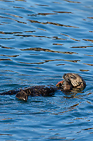 Sea Otter (Enhydra lutris) pup playing with crab shell. California coast.