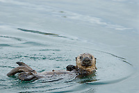 Sea Otter (Enhydra lutris) pup floating on back--at this stage (month or so) pup is just learing to swim and move about on the surface.
