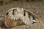 Coconut octopus(Amphioctopus marginatus) inside an empty snail shell.