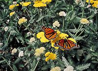 monarch butterfly on yellow Achillea in butterfly enclosure at zoo. Seattle Washington, Woodland Park Zoo.