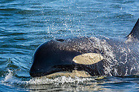"""killer whale or orca, Orcinus orca, a resident orca from """"L"""" pod, surfacing in the Strait of Georgia off Vancouver, British Columbia, Canada, Pacific Ocean"""