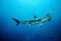 SCALLOPED HAMMERHEAD SHARK Sphyrna lewini GALAPAGOS ISLANDS. predator dangerous menacing deadly hazardous cartilaginous horizontal underwater Galapagos islands Schooling underwater Equador sharks