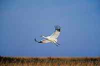 Whooping crane (Grus americana), Aransas National Wildlife Refuge, TX, February.