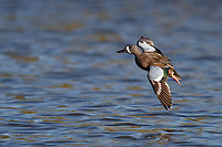 Blue-winged Teal (Anas discors), male in flight at the Salton Sea State Recreation Area, Mecca, California.