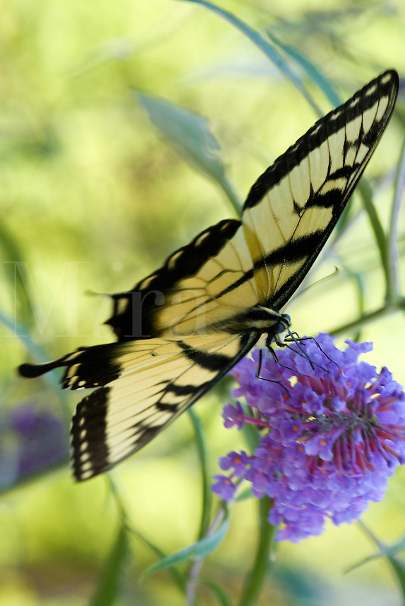Tiger Swallowtail Butterfly sitting on purple butterfly bush
