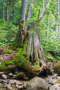 Decaying eastern white pine tree stump in the Pine Brook valley of Lincoln, New Hampshire USA. This area was logged during the East Branch & Lincoln era, which was a logging railroad in operation from 1893-1948.