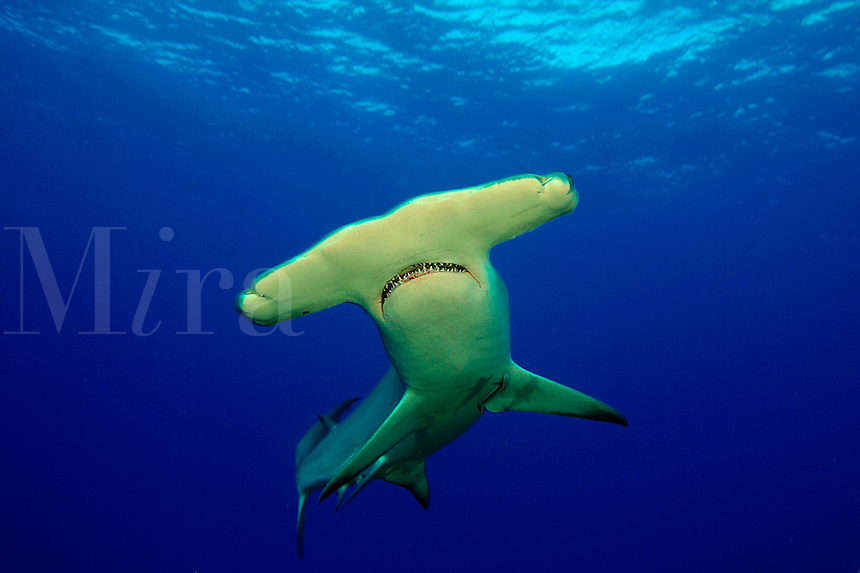 SCALLOPED HAMMERHEAD SHARK Sphyrna lewini GALAPAGOS ISLANDS. predator dangerous menacing deadly hazardous cartilaginous horizontal underwater Galapagos islands Schooling underwater Equador danger underwater sharks