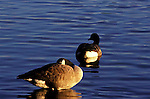 Canada Geese at rest  Branta canadensis