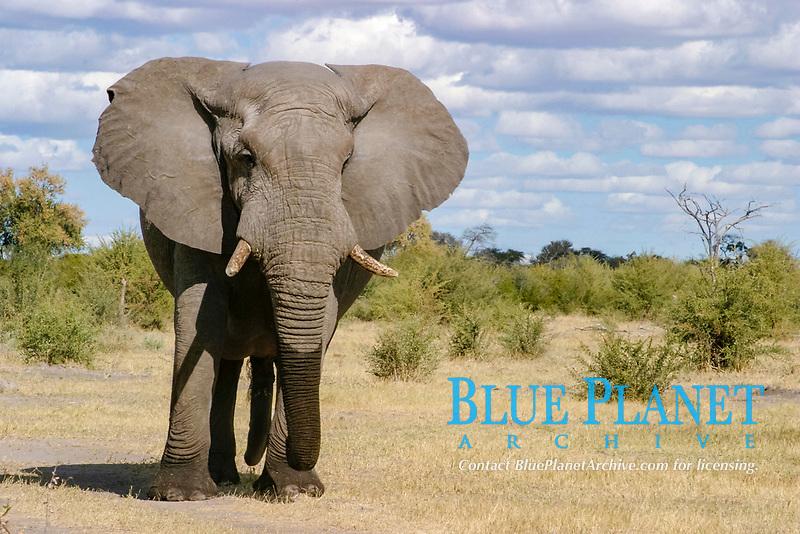 African Elephant, Hoanib River, Kaokoland, Namibia / (Loxodonta africana)