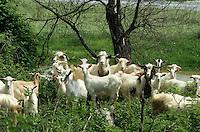 Ziege, Ziegen, Ziegenherde, Herde, Beweidung mit Ziegen