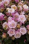 AQUILEGIA 'WINKY DOUBLE ROSE-WHITE', LARKSPUR