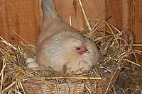 Brütende Henne, Huhn, Zwerghuhn auf Nest im Hühnerstall