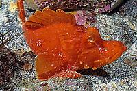 scorpionfish, Rhinopias xenops, Izu ocean park, Sagami bay, Izu peninsula, Shizuoka, Japan, Pacific Ocean