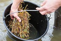 Brennnesselwurzeln werden in Wasser, Bach gewaschen, Brennnessel-Wurzeln, Wurzelernte, Brennnesselernte, Ernte, Große Brennnessel, Wurzelstock, Wurzelrhizome, Wurzeln, Wurzel im Frühjahr, Brennessel, Urtica dioica, Stinging Nettle, common nettle, nettle leaf, root, roots, La grande ortie, ortie dioïque, ortie commune
